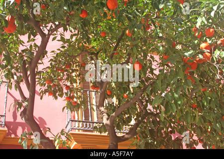 Seville oranges symbolic fruit tress Andalucia Spain - Stock Photo