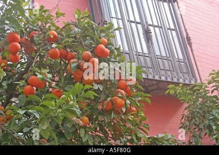 Seville oranges symbolic fruit trees Andalucia Spain - Stock Photo