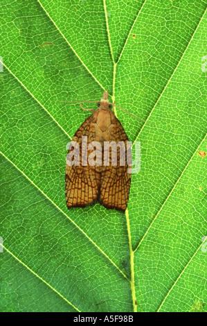 Chequered Fruit Tree Tortrix moth Pandemis corylana - Stock Photo