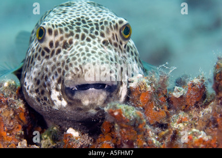 A giant starry pufferfish arothron stellatus opens its for Giant puffer fish