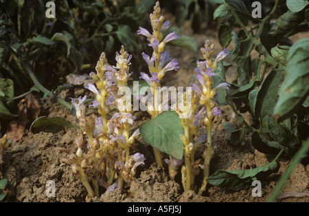 Branched broomrape Orobanche ramosa flowering plants parasitic on a tomato crop