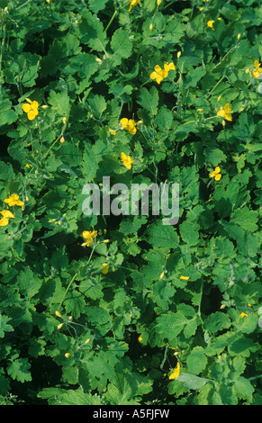 Greater celandine Chelidonium majus flowering plants of the poppy family - Stock Photo