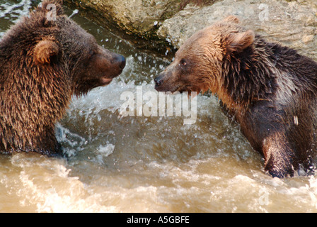 Two young 1 1 2 years old brown bear siblings Ursus arctos having a play fight in a pond  - Stock Photo