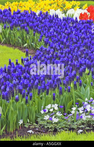 grape hyacinth (Muscari botryoides), blooming plants in spring, Netherlands, Northern Netherlands - Stock Photo