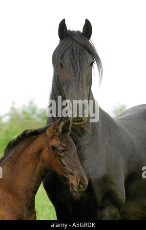 Friesian Horse Friesenpferd - Stock Photo