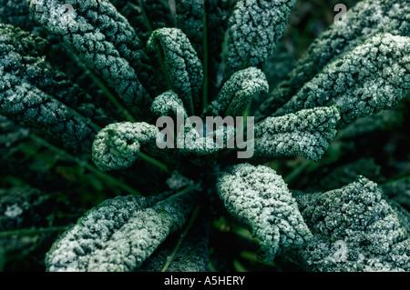 Kale in frost
