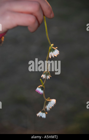 dandelions dangle hanging spring flower undignified - Stock Photo