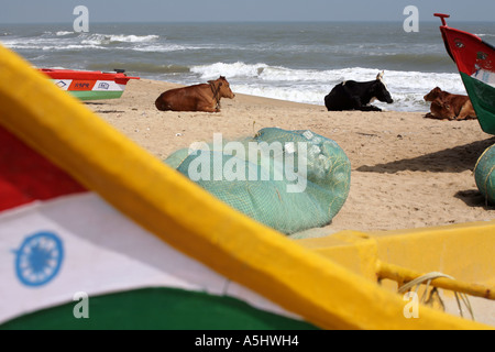Cows resting on the beach in Mamallapuram, Tamil Nadu state, south India, 2006. - Stock Photo
