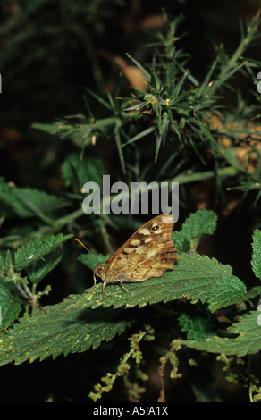 Speckled Wood Butterfly (Pararge aegeria) in the uk - Stock Photo