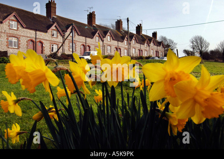 Daffodils grow in front of a row of flint terrace cottages in Glynde East Sussex - Stock Photo