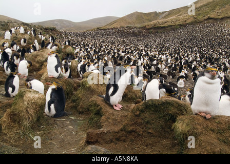 Royal Penguin colony Macquarie Island - Stock Photo