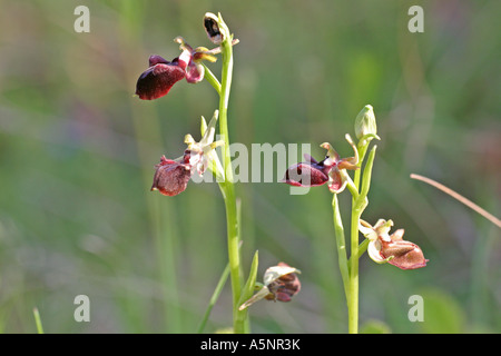 early spider orchid Ophrys mammosa - Stock Photo