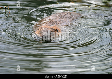 Biber im Teich Biber in a pond - Stock Photo