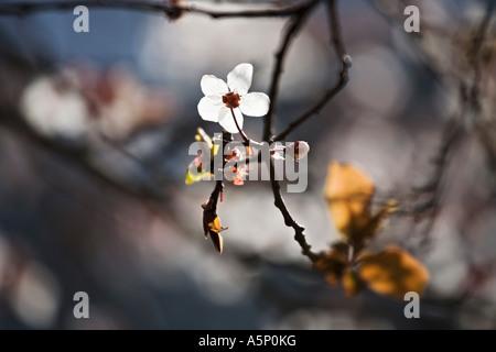 Single cherry blossom catching the sunlight - Stock Photo