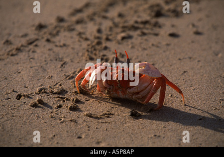 Ghost crab on the beach of Isabela,  Galapagos Islands Stock Photo
