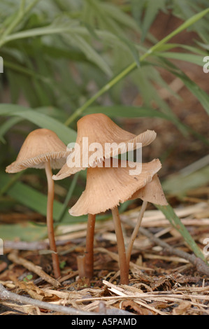 A group of brown toadstools ( fungus, mushrooms ) growing in the grass in the forest. Large wide caps on long thin - Stock Photo