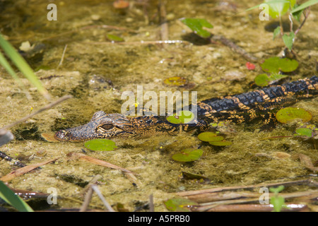 Young alligator (Alligator Mississippiensis) rests on peat bog in Emeralda Marsh Central Florida USA - Stock Photo