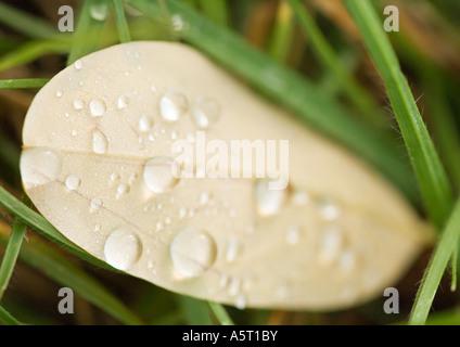 Dew drops on fallen leaf - Stock Photo