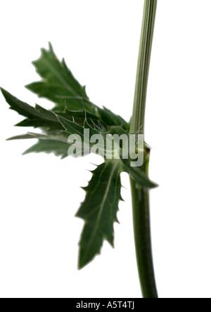 Thistle leaves, close-up - Stock Photo