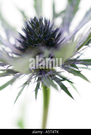 Thistle flower, close-up - Stock Photo