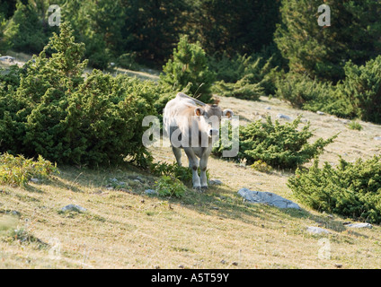 Cow standing on mountainside - Stock Photo