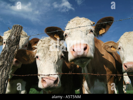Cows looking through barbed wire fence, close-up - Stock Photo