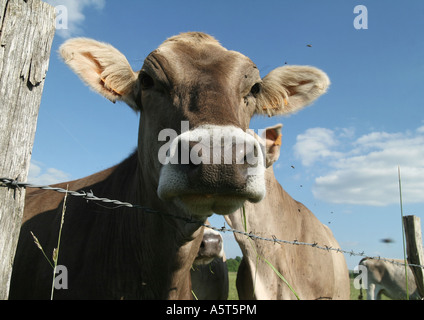Brown swiss cow looking over barbed wire fence, close-up - Stock Photo