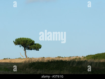 France, Brittany, pine tree in flat landscape - Stock Photo