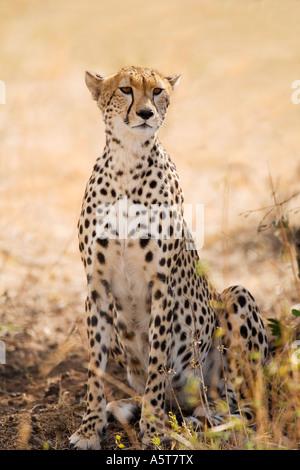 Wild cheetah in shade from sun sunshine on savannah outdoors  Masai Mara National Nature Reserve Kenya East Africa - Stock Photo