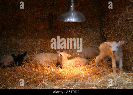 Orphan lambs about one week old in a pen built of straw bales and under a heat lamp. - Stock Photo