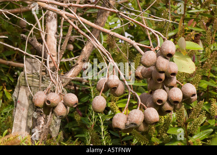 The fruit pods or Gum Nuts of the Red Flowering Gum Tree Eucalyptus Ficifolia - Stock Photo