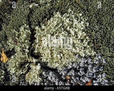 Reindeer moss, Jotunheimen, Norway - Stock Photo