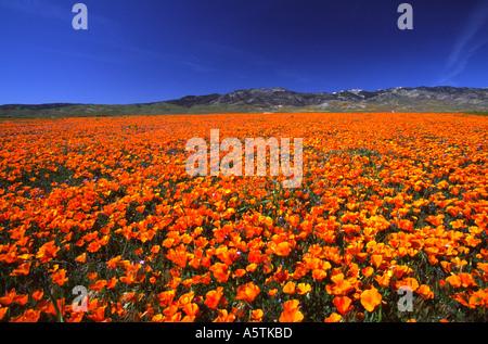 California Poppy Antelope Valley California Poppy Reserve - Stock Photo