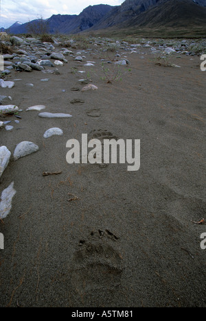 Alaska Arctic National Wildlife Refuge fresh grizzly tracks in the sand - Stock Photo