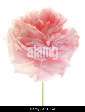 A pink Rose on white background. - Stock Photo