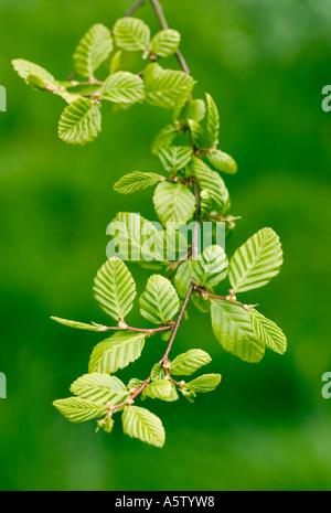 Fresh new green beech tree foliage in springtime. - Stock Photo
