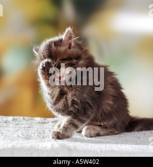 domestic kitten is cleaning itself - Stock Photo