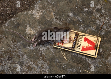 Mouse Caught in a Victor Mousetrap - Stock Photo