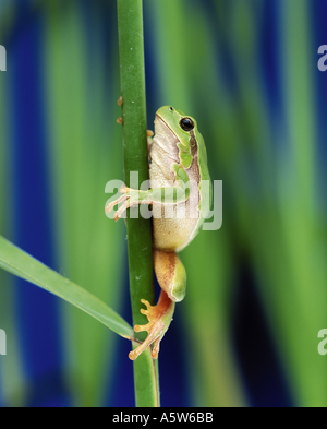 European treefrog - climbing / Hyla arborea - Stock Photo