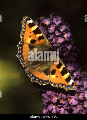 Small Tortoiseshell butterfly, aglais urticae, feeding on the nectar of a Buddleia plant - Stock Photo