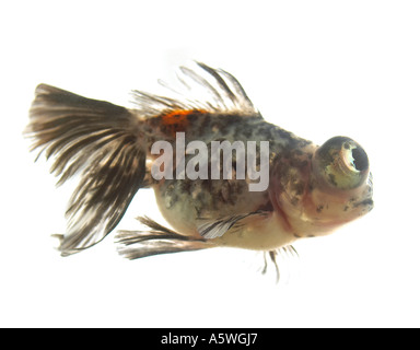 Fish swimming in a bowl - Stock Photo