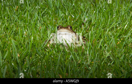 a frog sitting in the green lush grass - Stock Photo