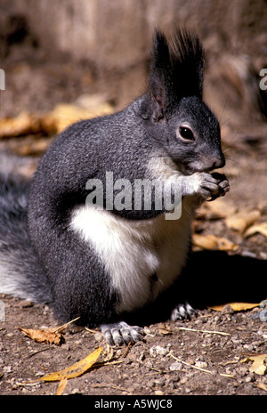 M-213 TASSEL EARED or ABERT'S SQUIRREL - Stock Photo