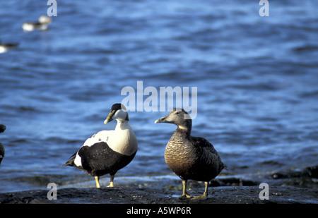 Male and female eider ducks on outer farne islands off the northumbrian coast England - Stock Photo