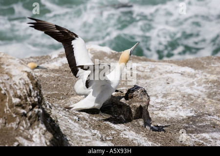 Gannet taking off Muriwai gannet colony off west coast near Auckland North Island New Zealand - Stock Photo