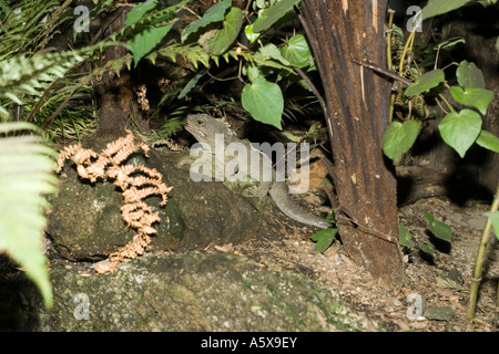 Tuatara lizard Sphenodon punctatus Rainbow Springs North Island New Zealand - Stock Photo