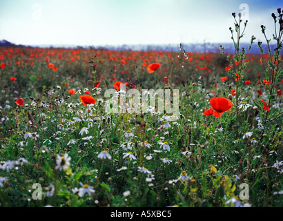 Poppies and Dog Daisies on a Dewy Morning - Stock Photo