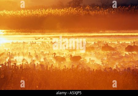 Snow geese and Sandhill cranes at sunrise Bosque del Apache New Mexico USA - Stock Photo