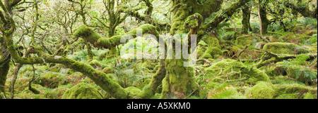 Wistmans Wood in Summer A stunted Oak woodland in Devon UK - Stock Photo