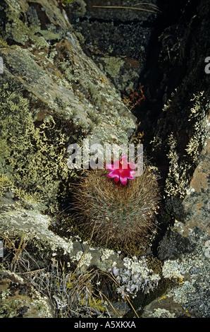 A cactus (Matucana) in bloom on the setting of Winchus (Peru). Cactus (Matucana) en fleur sur le site de Winchus (Pérou). Stock Photo
